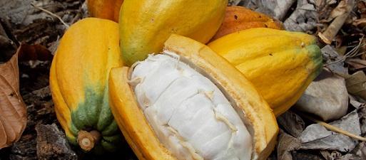 Prejuízo da seca no cacau dá R$ 1 bilhão, estima produtor